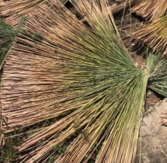 Tanaman Purun Kalimantan